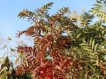 Herbst-Vogelbeere / Eberesche 'Autumn Spire', 60-80 cm, Sorbus aucuparia 'Autumn Spire', Containerware