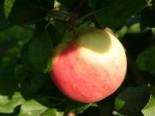 Herbstapfel 'Ahrista', Stamm 40-60 cm, 120-160 cm, Malus 'Ahrista', Wurzelware