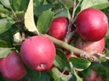 Herbstapfel 'Berner Rosenapfel', Stamm 40-60 cm, 120-160 cm, Malus 'Berner Rosenapfel', Wurzelware