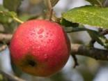 Herbstapfel 'Biesterfelder Renette', Stamm 40-60 cm, 120-160 cm, Malus 'Biesterfelder Renette', Wurzelware