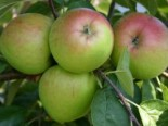 Herbstapfel 'Börtlinger Weinapfel', Stamm 40-60 cm, 120-160 cm, Malus 'Börtlinger Weinapfel', Wurzelware