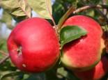 Herbstapfel 'Brautapfel', Stamm 40-60 cm, 120-160 cm, Malus 'Brautapfel', Wurzelware