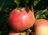 Herbstapfel 'Carola' / 'Kalco', Stamm 40-60 cm, 120-160 cm, Malus 'Carola' / 'Kalco', Wurzelware