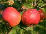 Malus 'Charles Ross'