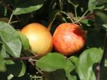 Herbstapfel Dülmener Rosenapfel