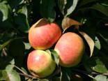 Herbstapfel 'Elstar', Stamm 40-60 cm, 120-160 cm, Malus domestica 'Elstar', Wurzelware