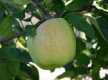 Herbstapfel 'Gartenmeister Simon', Stamm 40-60 cm, 120-160 cm, Malus 'Gartenmeister Simon', Wurzelware
