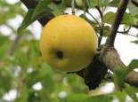Herbstapfel 'Gelber Edelapfel' / 'Zitronenapfel', Stamm 40-60 cm, 120-160 cm, Malus 'Gelber Edelapfel' / 'Zitronenapfel', Wurzelware