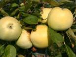 Herbstapfel 'Gelber Richard', 'Grand Richard', Stamm 40-60 cm, 120-160 cm, Malus 'Gelber Richard', 'Grand Richard', Wurzelware