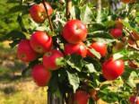 Herbstapfel 'Gerlinde', Stamm 40-60 cm, 120-160 cm, Malus 'Gerlinde', Wurzelware