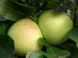 Herbstapfel 'Grahams Jubiläumsapfel', 'Royal Jubilée', Stamm 40-60 cm, 120-160 cm, Malus 'Grahams Jubiläumsapfel', 'Royal Jubilée', Wurzelware