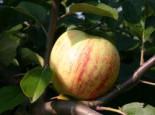 Herbstapfel 'Gravensteiner', Stamm 40-60 cm, 120-160 cm, Malus 'Gravensteiner', Wurzelware