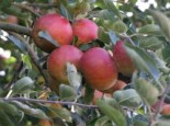 Herbstapfel 'Pia', Stamm 40-60 cm, 120-160 cm, Malus 'Pia', Containerware
