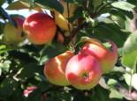 Herbstapfel 'Rebella' ®, Stamm 40-60 cm, 120-160 cm, Malus 'Rebella' ®, Containerware