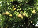 Herbstbirne 'Gellerts Butterbirne', 'Beurré Hardy', Stamm 40-60 cm, 120-160 cm, Pyrus communis 'Gellerts Butterbirne' / 'Beurré Hardy', Containerware