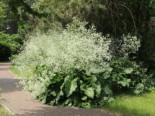 Herzblättriger Blütenkohl, Crambe cordifolia, Topfware