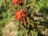 Himalaja Wolfsmilch 'Fireglow', Euphorbia griffithii 'Fireglow', Topfware