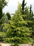 Cedrus deodara 'Golden Horizon'