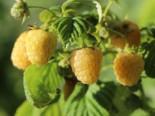 Himbeere 'Golden Queen' ®, 40-60 cm, Rubus idaeus 'Golden Queen' ®, Containerware