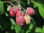 Himbeere 'Pokusa' ®, 40-60 cm, Rubus idaeus 'Pokusa' ®, Containerware