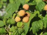 Himbeere 'Poranna Rosa' ®, 40-60 cm, Rubus idaeus 'Poranna Rosa' ®, Containerware