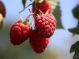 Himbeere 'Preussen II', 40-60 cm, Rubus idaeus 'Preussen II', Containerware