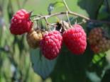 Himbeere Schlaraffia ® 'Naschmich', 40-60 cm, Rubus idaeus Schlaraffia ® 'Naschmich', Containerware