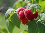 Himbeere Summer Lovers ® 'Patio Red', 30-40 cm, Rubus idaeus Summer Lovers ® 'Patio Red', Containerware