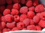 Himbeere 'TulaMagic' ®, 40-60 cm, Rubus idaeus 'TulaMagic' ®, Containerware