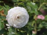 Historische Rose 'Boule de Neige', Rosa 'Boule de Neige', Wurzelware