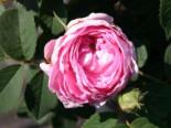 Historische Rose 'Conrad Ferdinand Meyer', Rosa rugosa 'Conrad Ferdinand Meyer', Wurzelware