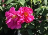 Historische Rose 'Gallica Officinalis', Rosa 'Gallica Officinalis', Containerware