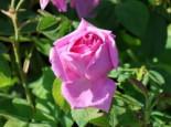 Historische Rose 'Mme Boll', Rosa 'Mme Boll', Wurzelware