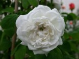 Historische Rose 'Mme Hardy', Rosa 'Mme Hardy', Containerware