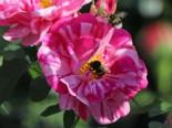 Historische Rose 'Versicolor', Rosa gallica 'Versicolor', Containerware