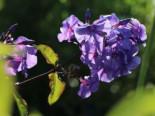 Hohe Flammenblume 'Amethyst', Phlox paniculata 'Amethyst', Topfware
