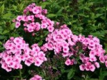 Hohe Flammenblume 'Baby Face', Phlox x arendsii 'Baby Face', Topfware