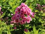 Hohe Flammenblume 'Jeff's Pink', Phlox paniculata 'Jeff's Pink', Topfware