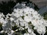 Hohe Flammenblume 'Pax', Phlox paniculata 'Pax', Topfware