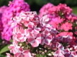 Phlox paniculata 'Peppermint Twist' ®