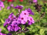 Hohe Flammenblume 'Purple Paradise', Phlox paniculata 'Purple Paradise', Topfware