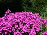 Hohe Flammenblume 'Purple Rain', Phlox paniculata 'Purple Rain', Topfware