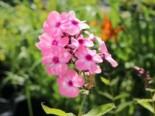 Hohe Flammenblume 'Sweet Summer Favourite', Phlox paniculata 'Sweet Summer Favourite', Topfware