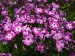 Hohe Flammenblume 'Uspech', Phlox paniculata 'Uspech', Topfware