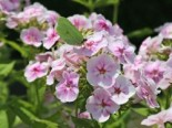Phlox paniculata 'Younique Bicolor'