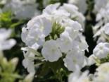 Hohe Flammenblume 'Younique White', Phlox paniculata 'Younique White', Topfware
