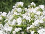 Hohe Garten-Flammenblume 'David', Phlox paniculata 'David', Topfware