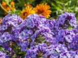 Hohe Garten Flammenblume 'Jeff's Blue', Phlox paniculata 'Jeff's Blue', Topfware