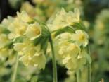 Hohe Schlüsselblume, Primula elatior subsp. elatior, Topfware