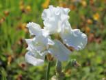 Hohe Schwertlilie 'Lugano', Iris x barbata-elatior 'Lugano', Topfware